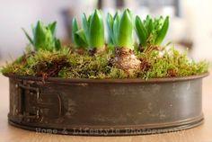 Hyacinths in old cake tin