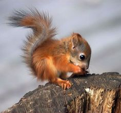 Baby Red Squirrel!