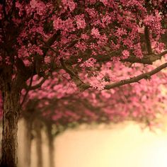 Because I'd really love to be sitting under these blooms right now. :: Cherry blossom print by Raceytay on etsy