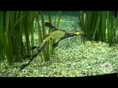 Catch this weedy sea dragon dad and babies in action!