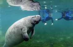 b for bel: Swimming with Manatees
