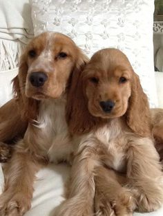 Baby names english cocker spaniel 49 ideas for 2019 Cute Dogs And Puppies, Baby Puppies, I Love Dogs, Doggies, English Cocker Spaniel Puppies, Black Cocker Spaniel, Show Cocker Spaniel, Spaniel Breeds, Dog Breeds