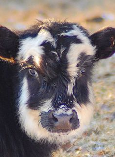 These cows are soooo cute but in real life they can be soooo gross