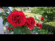 http://allthingspondered.com   Sympathie Kletterrose Kordes 1964 Red Roses