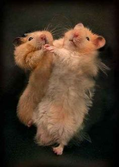 Funny Dancing Animals - ballroom hamsters ♪♫ www.pinterest.com/wholoves/Dance ♪♫ #dance