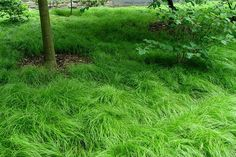 Carex pensylvanica - Google Search