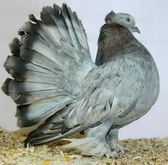 The Indian Fantail pigeon is a breed of fancy pigeon. The Indian Fantail doves originated in India. These birds are well known for there. White Pigeon, Dove Pigeon, Pigeon Bird, Pet Pigeon, King Pigeon, Jacobin Pigeon, Fantail Pigeon, Exotic Birds, Colorful Birds