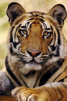What a gorgeous tiger!