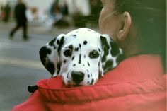 Dalmation Puppy | 35mm. Adorable baby dalmation with his new… | Flickr