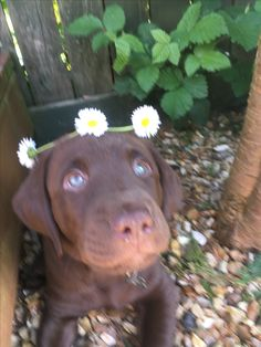 Labrador Puppies, Labrador Retriever, Cute Puppies, Dogs And Puppies, Dog Pond, Animals And Pets, Cute Animals, Dog Lady, Labradors