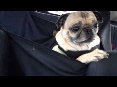 Pug Screaming in the Car. Wow, I thought Froggy was terrible in the car, but this guy takes the cake :)