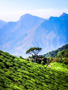 Lonely tree in #India's #Munnar hills #tea plantations. The landscape up there is incredible. Miles and miles of rolling green tea leaves.