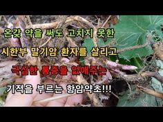 이것 뿌리를 달여 먹으면 죽어가는 사람도 벌떡 일어나게 하는 최고의 만병통치약!!! - YouTube Youtube