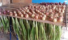 Great way to cure and dry onions.