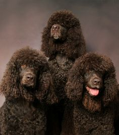 "Irish Water Spaniel ""hypoallergenic"" + I kind of love the 90's mom permed hair look :)"