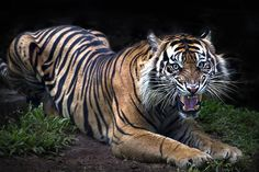 (via 500px / Sumatran Tiger by Ivan Lee)