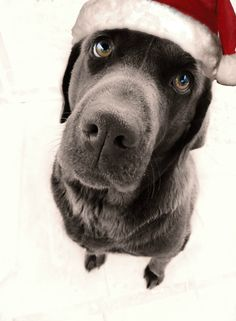 Merry Christmas Lab Puppy Holiday Dogs Santa Claus Dog Puppies Labs