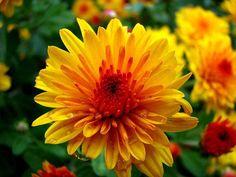 Te de crisantemo - Gripe