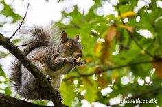Grey squirrel closes his eyes whilst eating a nut.  You can buy this image & see my other nature images by clicking on the thumbnail.