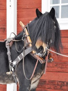North Swedish Horse in pulling harness. He has full bushy mane in his eyes, it is a wonder he can see where he is going.