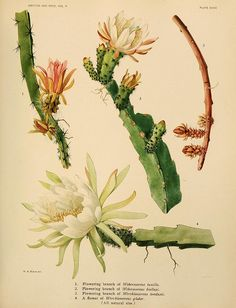 """Image from page 308 of """"The Cactaceae : descriptions and illustrations of plants of the cactus family"""" Botanical Drawings, Botanical Illustration, Botanical Prints, Botanical Posters, Cactus Art, Cactus Y Suculentas, Saturated Color, Illustrations, Vintage Flowers"""