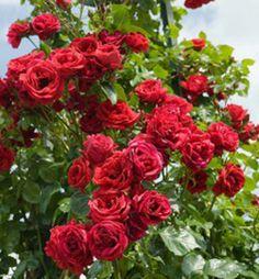 Ruža popínavá ´SYMPATHIE´, 30-40 cm, voľnokorenná