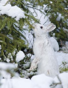 Snowshoe Hare photo by Les Piccolo on DeviantART Arctic Animals, Cute Animals, Snowshoe Hare, Wild Rabbit, Bunny Rabbit, Dashing Through The Snow, Snow Bunnies, Woodland Creatures, Winter Colors