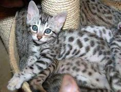 Oh I wish we had Jezebelle since she was a kitten!  6 weeks old Silver Spotted Bengal Kitten