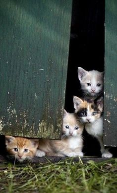 So many cute kittens. Calico, orange, buff and maybe a Siamese? Adorable!