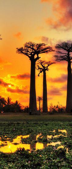 Baobabs, Madagascar