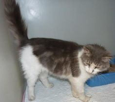 8/20/16 - Meet 37923 Tonka, an adoptable Maine Coon looking for a forever home. If you're looking for a new pet to adopt or want information on how to get involved with adoptable pets, Petfinder.com is a great resource.