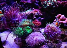 Absolutely gorgeous from #ReefPro @nano_karen #polyplab . Just go: www.polyplab.com . . #coral #reeftank #coralreeftank #reef #reefpack #reef2reef #reefcandy #reefersdaily #reefrEVOLution #coralreef #coraladdict #reefaholiks #reefjunkie #reeflife #instareef  #allmymoneygoestocoral #instareef  #reefpackworldwide #ilovemyreef #rarecorals #reefing #exoticcorals #reefporn #reeferdise #reefers4reefers #coralporn #aquarium #polyplab