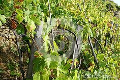 Photo about Vineyard by the sea in Liguria after crops. Image of landscape, bright, grapevine - 31647772 Landscaping Images, Grape Vines, Vineyard, Stock Photos, Bright, Sea, Landscape, Nature, Photography