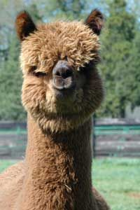 Cute Alpaca We love our alpacas and love taking care of them. To see more stunning alpacas and their finished products visit http://sacredmountainfarms.com.