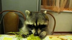 Raccoons Love Juicy Grapes!