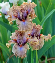 Tall Bearded Iris 'Jealous Guy'