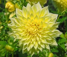 Perhaps the largest of all, this giant dahlia features huge and magnificent, bright, sunny yellow blossoms. Such an appealing focal point! The impressive fully double flowers of 'Kelvin Floodlight', up to 10-12 in. (25-30 cm), are not top-heavy and remain upright and straight, even when it rains.