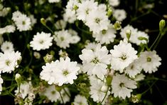 Magical white gardens are easy to achieve at home. TV Gardener David Domoney chooses his top white plants for chic, elegant flowers. White Perennial Flowers, Perrenial Flowers, White Flowering Plants, Small White Flowers, White Plants, Elegant Flowers, Flowers Perennials, Planting Flowers, Flowering Shrubs