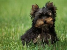 Yorkshire terriers, great little dogs - so cute! :)