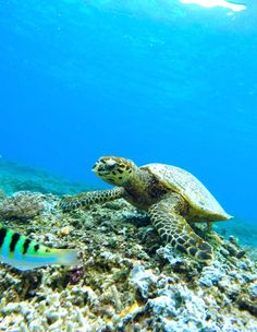 The best snorkeling spots in Maui including Molokini, Turtle Town, and Honolua Bay.
