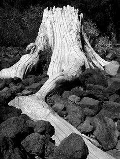 B&W stump at fish lake oregon