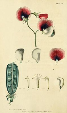 Thirty-eight plates, with explanations; - Biodiversity Heritage Library