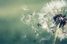 Dandelion weed.