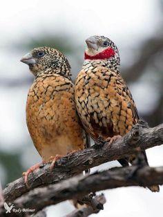 Mrs and Mr Cut-throat Finch All Birds, Little Birds, Love Birds, Exotic Birds, Colorful Birds, Pretty Birds, Beautiful Birds, Bird Pictures, Bird Feathers