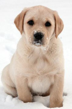 Yellow Labs I adore-yellow lab puppies are just as sweet!!