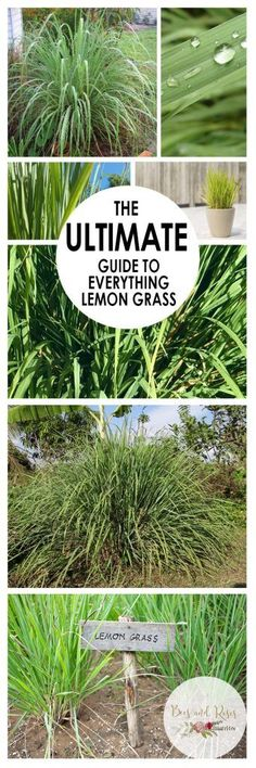The Ultimate Guide to Everything Lemon Grass| Growing Lemon Grass, How to Grow Lemon Grass, Gardening, Gardening Tips and Tricks, Growing Grass, Herb Garden, Herb Gardening, Herb Gardening Tips and Tricks, Popular Pin