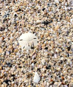 Sandollar & Seashells