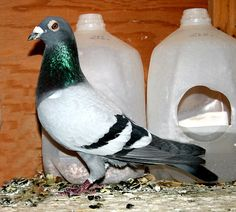HOW TO BREED RACING PIGEONS - Google Search