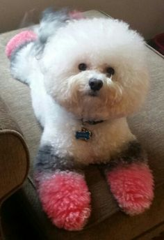 My Bichon Colton all chalked up with OPAWS pet-safe hair chalk.