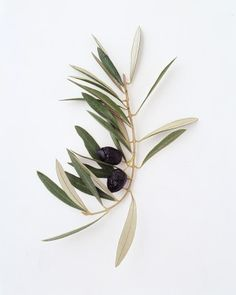 """See the """"Olive Branch"""" in our Your Ultimate Guide to Flower Meanings gallery"""